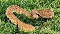 Rattlesnake season starts early in Murrieta and surrounding cities